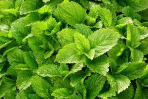 Успокоительные травы для взрослых
